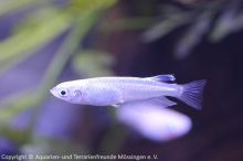 68_Oryzias_latipes_(Medaka-Reisfisch)