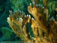Canthigaster_margaritata_(Rotmeerperl-Spitzkopfkugelfisch)_SA01