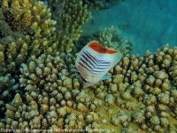 Chaetodon_paucifasciatus_(Rotmeer-Orange-Falterfisch)_SA02