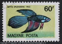 Betta_splendens_UNGARN