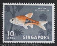 Trigonostigma_heteromorpha_SINGAPUR