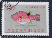Cantigaster_marginatus_MOCAMBIQUE