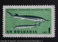Acipenser_stellatus_BULGARIEN