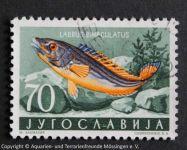 Labrus_bimaculatus_JUGOSL