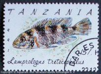 Lamprologus-tretocephalus_TANZANIA