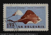 Raja_clavata_BULGARIEN