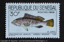 Epinephelus_aeneus_SENEGAL
