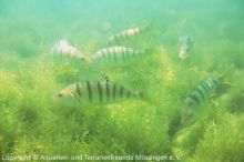 Flussbarsche_(Perca-fluviatilis)_03