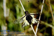 _Libellen-Schmetterlingshaft