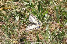 Schwalbenschwanz_im_Flug_(Papilio_machaon)_2