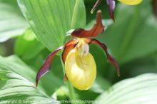 04_Frauenschuh_(Cypripedium_calceolus)